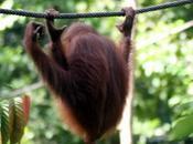 L'homme Jungle, Bornéo, Sandakan