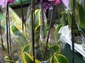 phalaenopsis panaché d'or