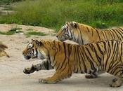 Tigres poule
