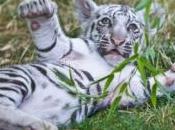 plus rares types tigres Bengale tous réunis sein d'un parc américain