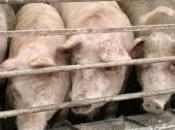 Grippe porcine est-on