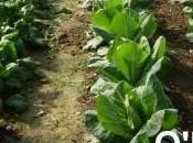 Légumes légumes locaux