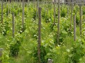 nouvello vigno papo nouvelles vigne papes News from papal vineyard