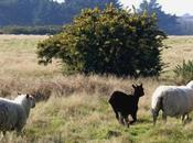 Belle-Isle, l'agneau merveilleux produit terroir