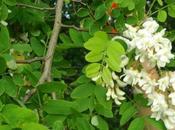 beignets fleurs d'acacia Brother Filou