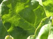 Vichyssoise l'oseille (Sorrel vichyssoise)