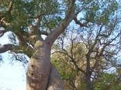 Madagascar l'allee baobabs