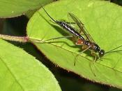 ichneumons, insectes auxiliaires jardin