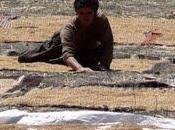 Turquie Paysage séchant grain