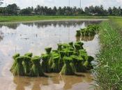Thaïlande/Issan: riz, géant (vidéo)