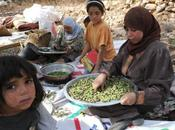 récolte olives