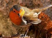 L'humble rouge-gorge (Jean-Paul Hameury)
