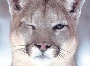 Cougar lifestyle rocks