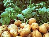 """info tragique """"L'Europe autorise culture d'une pomme terre OGM"""""""