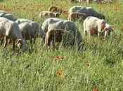 moutons coquelicots