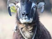 moutons tondeuses chapitre