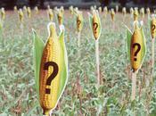 Allemagne: maïs illégal dans champs
