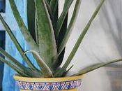 L'Aloe, plante dépolluante très résistante