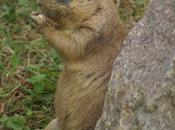 Voici marmotte