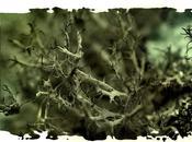 Lichens fruticuleux