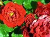 Rose vitaminé soleil