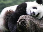 Gardien Pandas Toute aventure