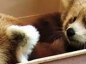 Mozilla adopté deux bébés Pandas Roux (Firefox), découvrez Live