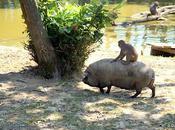 Balade cochon