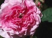 Rose Maroc Moroccan