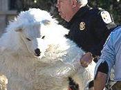 C'est Dimanche Arrestation d'un ours polaire