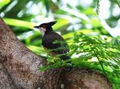 [oiseau] Bubul Orphée