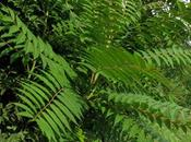 Ailanthus altissima (Ailanthe) espèce invasive court terme Lorraine