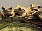 [inspi] L'image jour, grenouilles cannibales