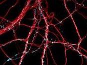 ALZHEIMER: anticorps spécifiques protègent connexions neurones Journal Neuroscience