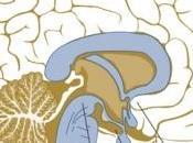 L'IMAGERIE cérébrale peut prévoir votre gain poids appétit sexuel Journal Neuroscience