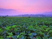 Floraison lotus Taïwan