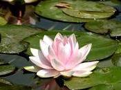 Fleurs Lotus Nymphéas