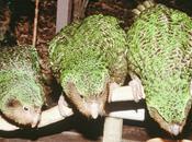 kakapo voie d'être sauvé