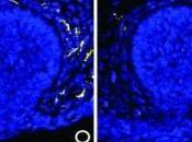 BIOLOGIE: Comment testostérone éteint glande mammaire chez l'homme Science