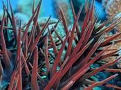 étoile décime corail polynésien