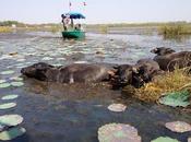 Thaïlande: Buffalo bain dans rose [HD]