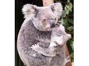 Koala danger