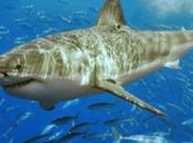 requins blancs attaquent chaine