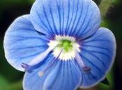 Véroniques, fleurs bleues