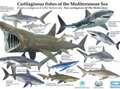 Requin peau bleu échoué Menzel Temime
