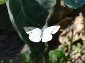 pierides choux, jolis papillons, mais chenilles ravageuses
