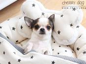 collection Stars Louisdog pour chiens