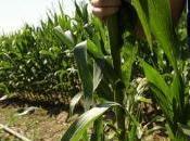 nouvel maïs autorisé