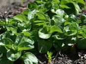 Salade d'hiver (bonne) Mâche céleri rave