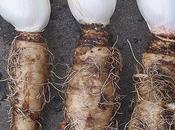 L'endive, plutôt crue cuite Barquette d'endive carottes avec Interfel